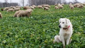 Bonnie has been an outstanding Maremma and is the grand dam to a number of our dogs.