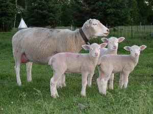 cover photo ewe with triplets