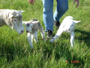 lamb tether