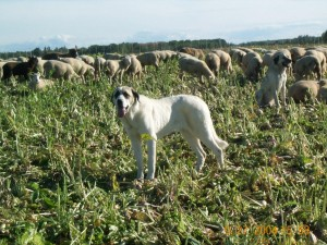 original import, Tina, 3/4 Spanish Mastiff 1/4 Pyreneen Mastiff
