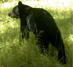 Black Bear always present, but never a problem