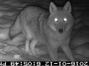 Yearling wolf or hybrid